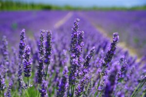 Lavender a natural bug repellent